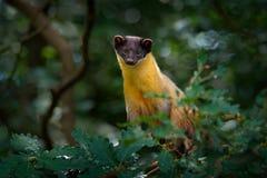 黄色红喉刺莺的貂,市场flavigula,在树森林栖所, Chitwan国家公园,中国 小食肉动物的开会在绿色ve 图库摄影