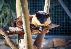 黄色红喉刺莺的貂,耶路撒冷圣经的动物园在以色列 免版税库存图片