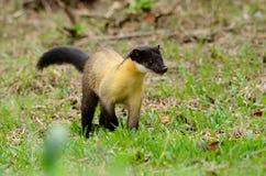 黄色红喉刺莺的貂(市场flavigula) 免版税库存照片