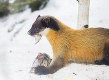 黄色红喉刺莺的貂 免版税库存照片