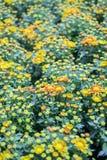 黄色红色菊花在庭院里 库存照片