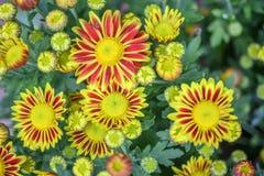 黄色红色菊花在庭院里 免版税图库摄影