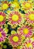 黄色红色菊花在庭院里 免版税库存照片
