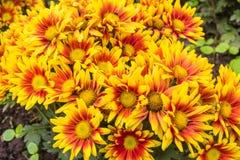 黄色红色菊花花开花 库存照片