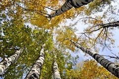 黄色结构树。 视图从下面 库存照片