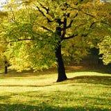 黄色结构树在公园 免版税库存照片