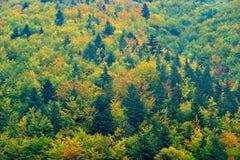 黄色结构树 秋天森林,在小山,橙色橡木,加拿大桦,绿色云杉, Mala Fatra山,斯洛伐克的许多树 美丽 库存图片