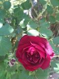 黄色罗斯的花,夏天庭院 免版税库存照片