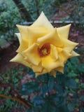 黄色罗斯,品种 库存照片