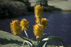 黄色美丽的花有湖背景 免版税库存图片