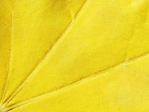 黄色背景,枫叶,宏指令,特写镜头 库存照片