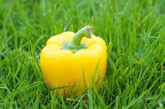 黄色胡椒特写镜头,在绿色自然背景的辣椒粉 室外 库存照片