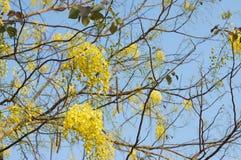 黄色艺术花在多雨森林Prajinburi泰国里 免版税库存照片
