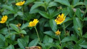 黄色花不关闭的蜂 库存图片