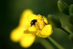 黄色花和一方得零分的一局甲虫 图库摄影