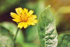 黄色花和美丽的草本质上 图库摄影