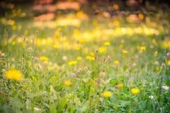 黄色花和草甸夏天特写镜头  明亮的横向 激动人心的自然横幅背景 免版税库存照片