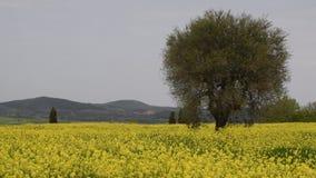 黄色花和蓝色多云天空的美好的领域与橄榄树的在托斯坎乡下,在皮恩扎锡耶纳附近,意大利 股票视频