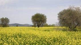 黄色花和蓝色多云天空的美好的领域与橄榄树的在托斯坎乡下,在皮恩扎锡耶纳附近,意大利 股票录像