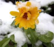 黄色花和雪 库存图片