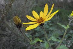 黄色花在夏天,关闭 库存照片