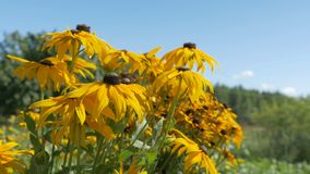 黄色花在家庭菜园增长 他们在风摇摆 股票录像