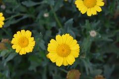 黄色花在庭院里 库存图片