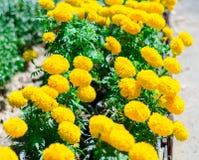 黄色花在庭院,美好的万寿菊黄色开花 免版税库存照片