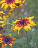 黄色花在庭院,黄金菊里 免版税库存图片