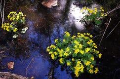 黄色花在森林湖增长 美丽的花在岸增长 r 免版税图库摄影