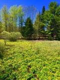黄色花在缅因覆盖一个领域 免版税库存图片