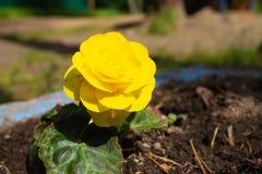 黄色花在花床特写镜头增长 库存照片