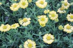 黄色花庭院  免版税图库摄影