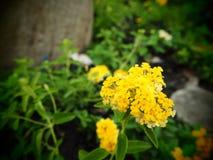 黄色花开花,马樱丹属camara 库存图片
