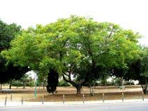 黄色花树在尼科西亚,塞浦路斯 库存照片