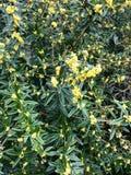 黄色花灌木 图库摄影