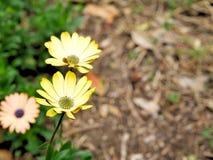 黄色花特写镜头与绿色的在一个蝴蝶庭院离开在圣塔巴巴拉加利福尼亚 有bokeh的宏观透镜网banne的 库存图片