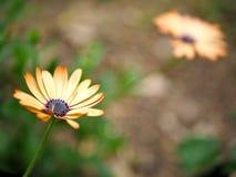 黄色花特写镜头与绿色的在一个蝴蝶庭院离开在圣塔巴巴拉加利福尼亚 有bokeh的宏观透镜网banne的 图库摄影