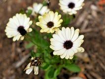 黄色花特写镜头与绿色的在一个蝴蝶庭院离开在圣塔巴巴拉加利福尼亚 有bokeh的宏观透镜网banne的 免版税图库摄影