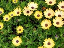 黄色花特写镜头与绿色的在一个蝴蝶庭院离开在圣塔巴巴拉加利福尼亚 有bokeh的宏观透镜网banne的 免版税库存图片