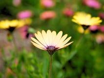 黄色花特写镜头与绿色的在一个蝴蝶庭院离开在圣塔巴巴拉加利福尼亚 有bokeh的宏观透镜网banne的 库存照片