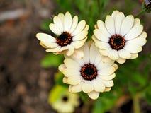 黄色花特写镜头与绿色的在一个蝴蝶庭院离开在圣塔巴巴拉加利福尼亚 有bokeh的宏观透镜网banne的 免版税库存照片