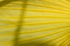黄色花瓣细节在宏观摄影的 免版税库存照片