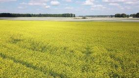 黄色花的多彩多姿的领域鸟瞰图,成熟为汇集落,通过入灰色植物在明亮的蓝色下 股票录像