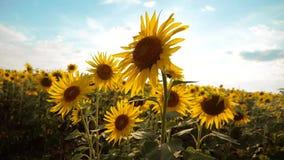 黄色花的生活方式美好的向日葵向日葵领域在蓝天风景背景的  慢的行动 影视素材