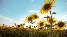 黄色花的美好的向日葵向日葵生活方式领域在蓝天风景背景的  慢的行动 股票视频
