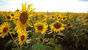 黄色花的美好的向日葵向日葵领域在生活方式的蓝天风景背景  慢的行动 影视素材
