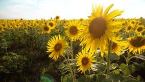 黄色花的美好的向日葵向日葵领域在生活方式蓝天风景背景的  慢的行动 股票录像