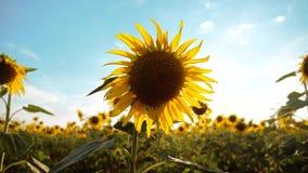黄色花的美好的向日葵向日葵领域在蓝天生活方式风景背景的  慢的行动 股票视频