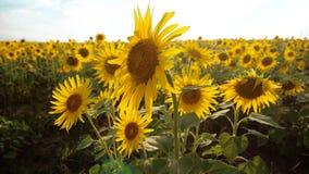 黄色花的美好的向日葵向日葵领域在蓝天风景生活方式背景的  慢的行动 影视素材